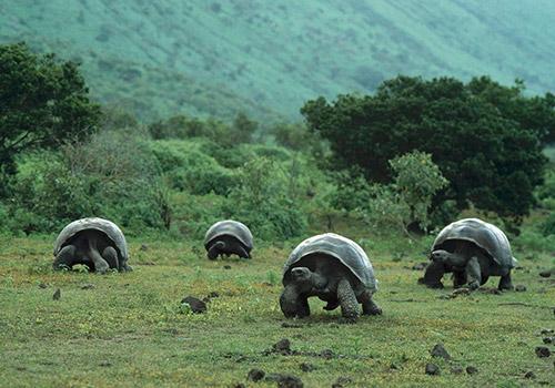 Galapagos Islands | Giant Tortoises