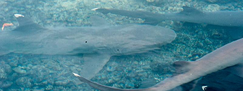 swimming amoung sharks galapagos