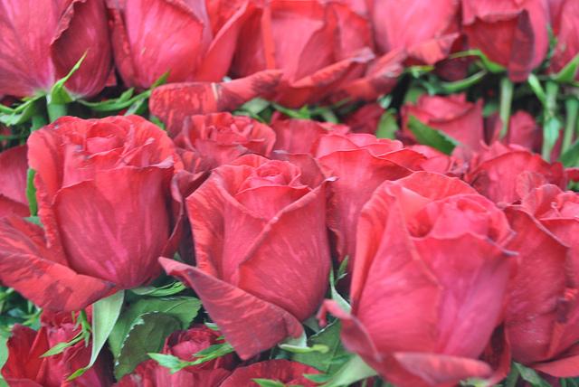 roses ecuador tour