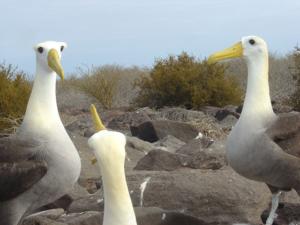 galapagos islands albatros