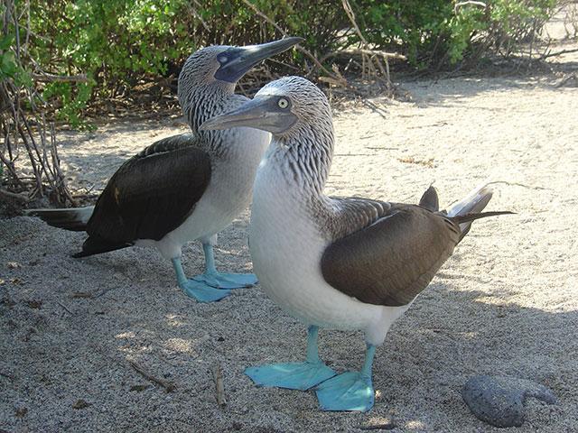 galapagos blue footie boobies