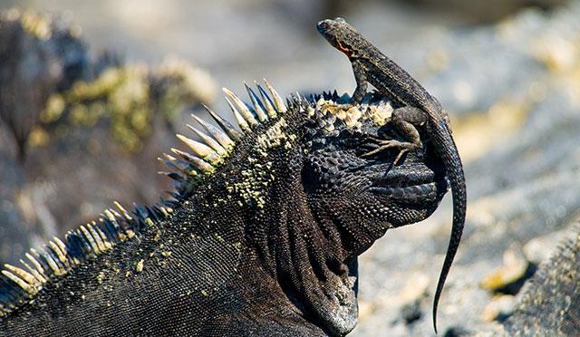 galapagos islads iguana