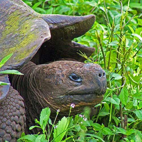 Tortugas de las Islas Galapagos | Galapaguera