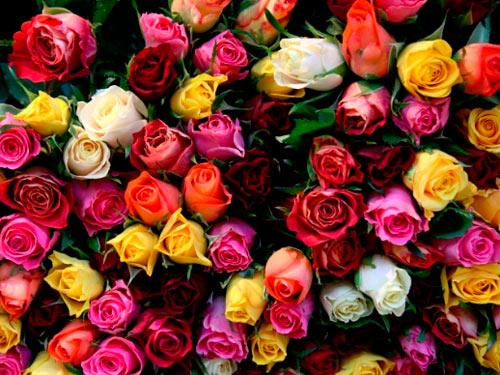tour-roses-plantation