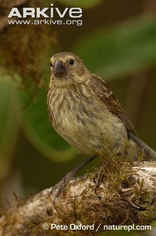 Darwin finch, an icon of Galapagos3
