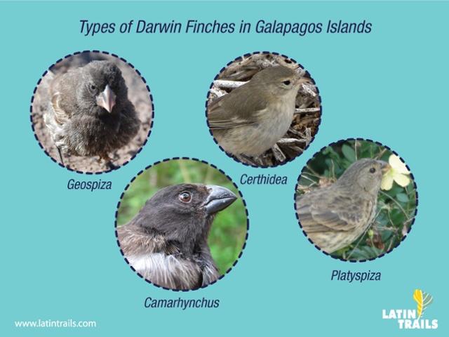 Darwin finch, an icon of Galapagos4
