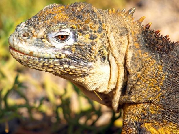 Santa Fe Island | Galapagos | Land Iguana