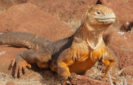 Galapagos Islands Iguana | Santa Fe Island