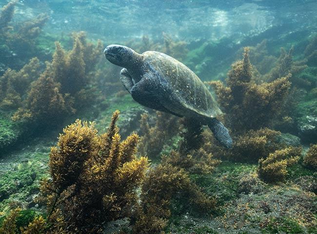 Galapagos marine tortoise - Galapagos Islands