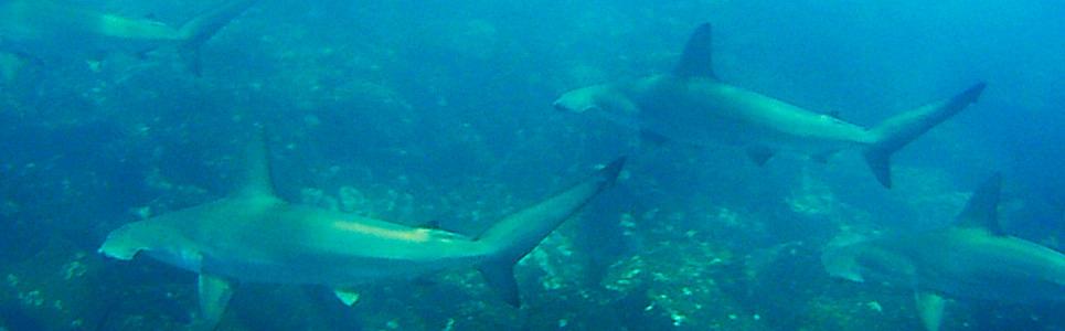 hammered-sharks