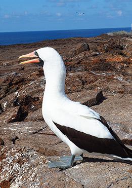 birdlife-in-Galapagos-latin-trails3