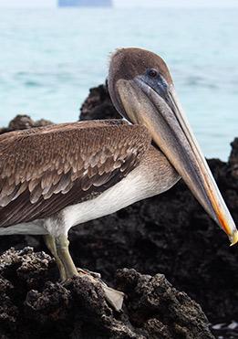 birdlife-in-Galapagos-latin-trails5