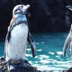 Galapagos Islands Penguins