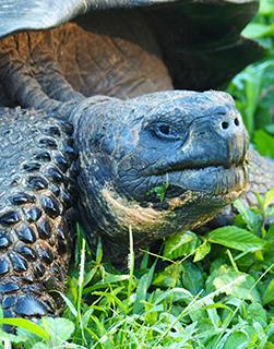 Galapagos tortoise Seniors tours