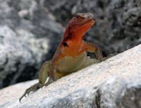 Lizards   Galapagos