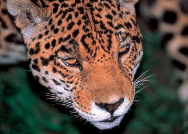 Jaguar | Amazon