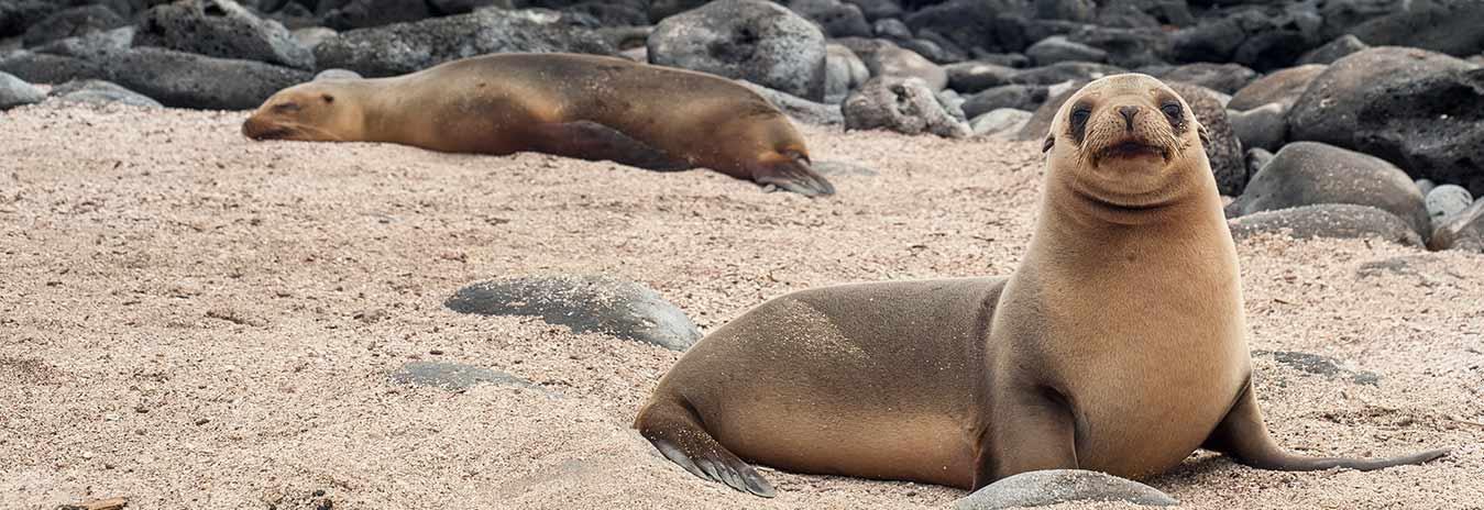 Sea Wolf   Galapagos