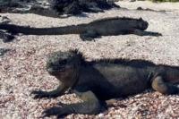 Marine Iguana | Galapagos