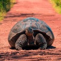 galapagos-islands-giant-tortoise