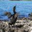 Cormorant Bird | Isabela Island | Galapagos