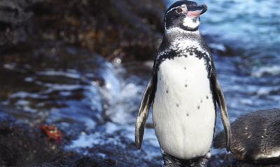 Galapagos Penguin | Bartolome Island | Galapagos