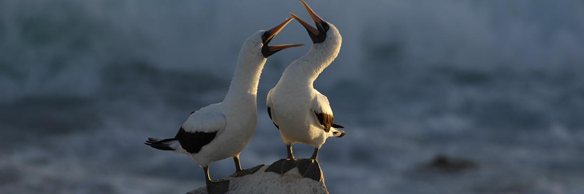 Galapagos Islands Birds | Masked boobies
