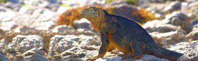 Land-iguanas-Galapagos-Islands