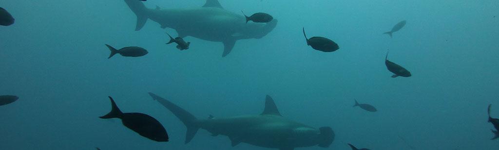 Hammerhead shark | Galapagos cruise