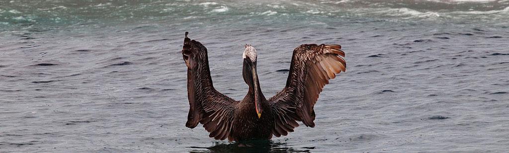 Pelican | Galapagos cruises