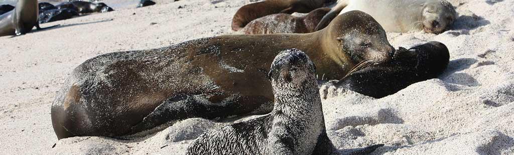 Sea Wolf | Galapagos