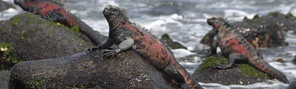 sea iguana | Galapagos
