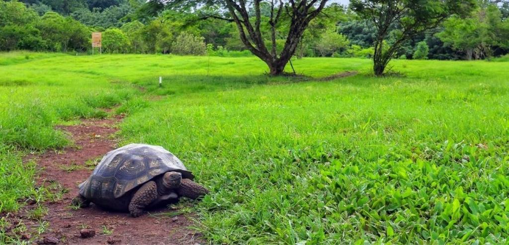 Santa Cruz island turtle