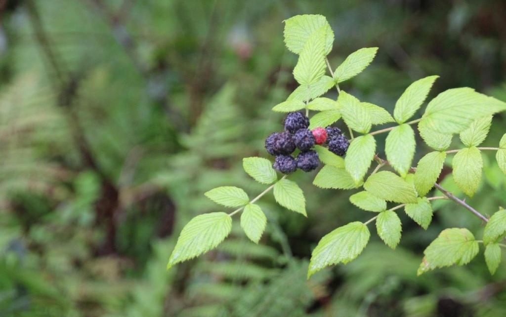 Galapagos blackberry